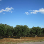 【写真】道路脇に広がるオリーブ畑。どこでも寝たい放題である。