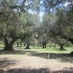 【野宿関連】イタリア南部で野宿するならオリーブ畑で。