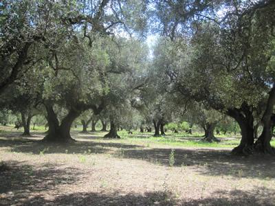 イタリア南部 オリーブ畑