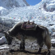 【写真】ベースキャンプへ荷を運ぶために用いられる毛長牛のヤク。